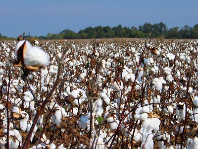 mississippi_cotton_400