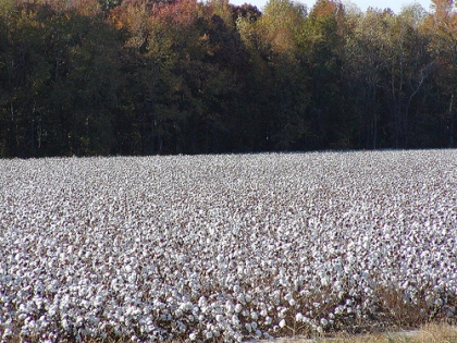 cotton-field1
