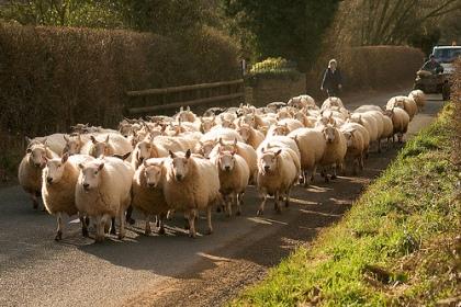 sheep.jpg?w=420&h=280