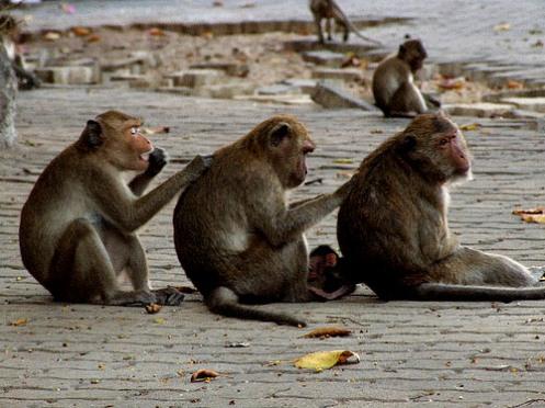 عودة التحدي - صفحة 26 Monkeys