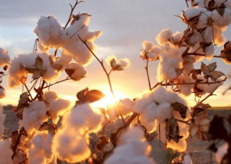 cotton photo
