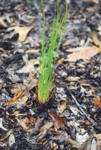 "Longleaf pine ""grass stage"" seedling."
