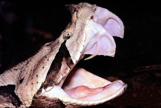 gaboon viper fangs