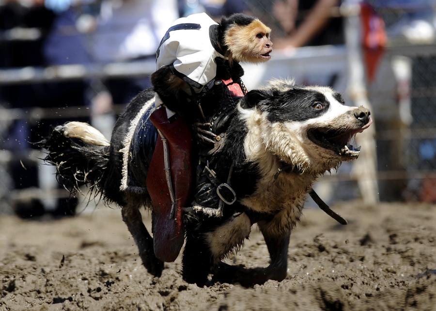 Monkey Riding Dog Rodeo Video