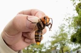 http://southcarolina1670.files.wordpress.com/2013/09/asian-giant-hornet.jpg