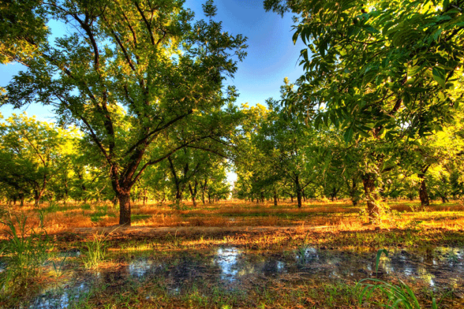 pecan-orchard1