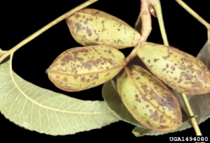 Pecan scab on Georgia pecans. Photo credit: University of Georgia Plant Pathology Archive, University of Georgia.