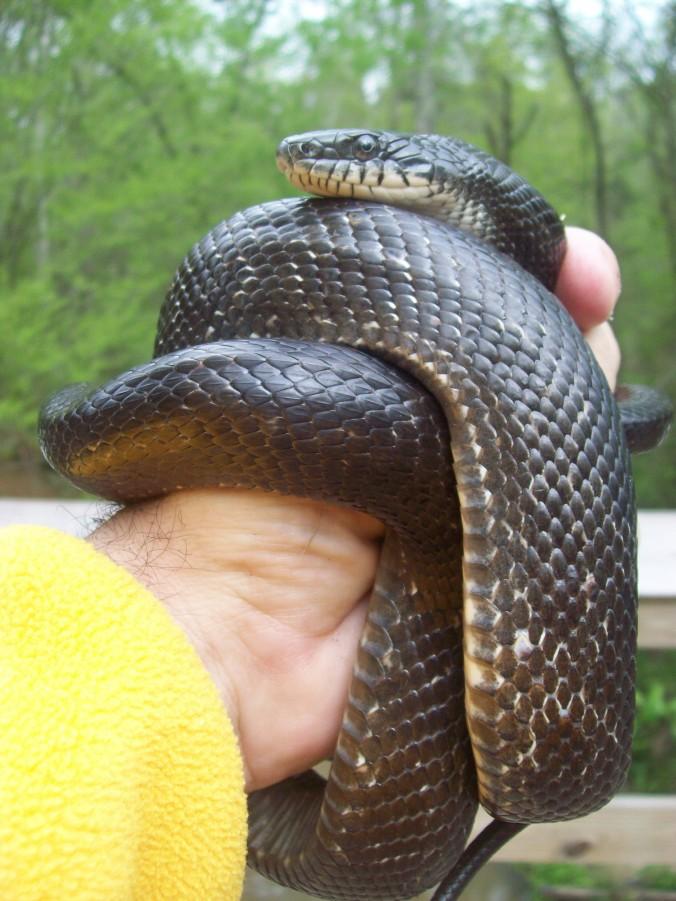 Black rat snake 4 20 2014 059