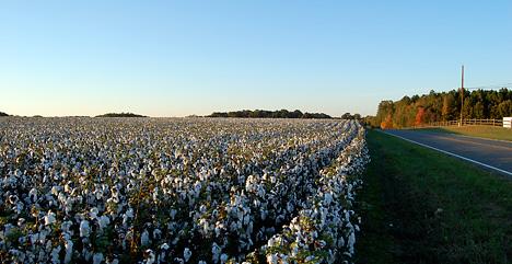 cotton nc