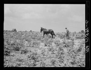 Sharecropper working cotton field June 1937 near Chesnee, SC, during Great Depression. Photograph taken by Dorothea Lange, from collection of Library of Congress.
