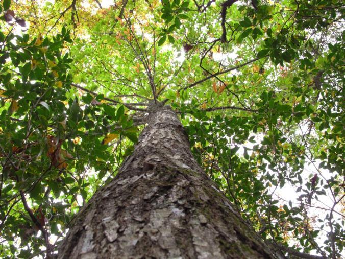 American-chestnut