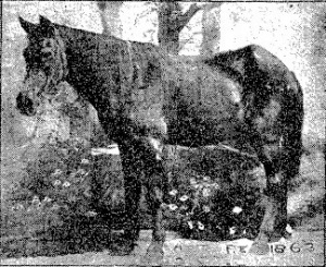 Sketch of Old Ned, from Colorado Transcript, Sept. 24, 1903.