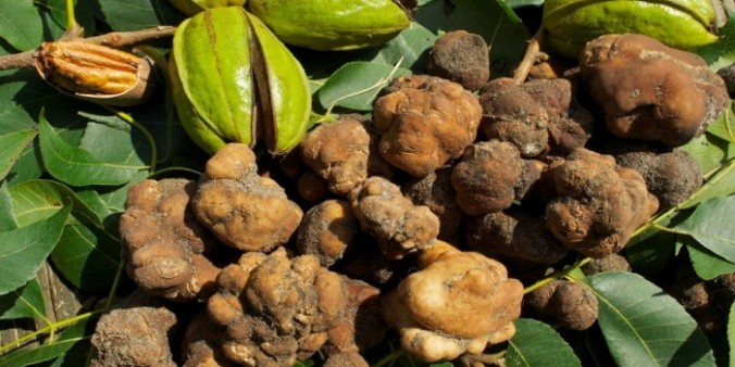 pecan-truffles-700