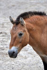 Przewalskis horse.