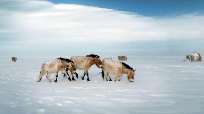 przewalski-horses-on-a