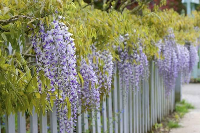 wisteria fence
