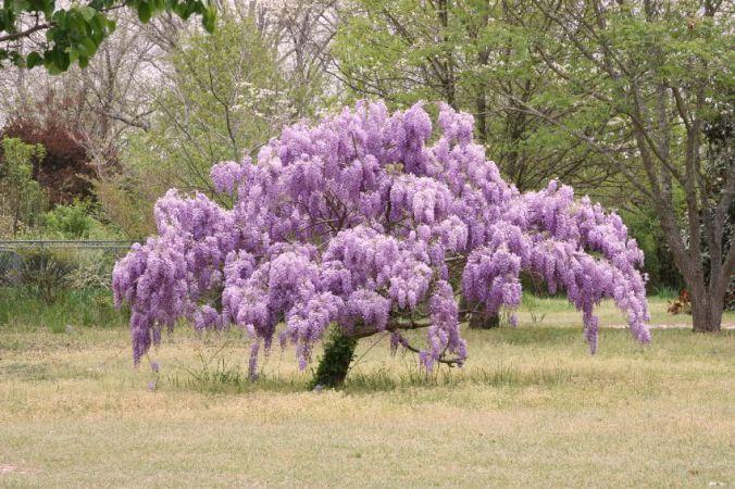 wysteria-tree