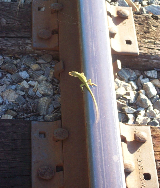 anole 1 cropped