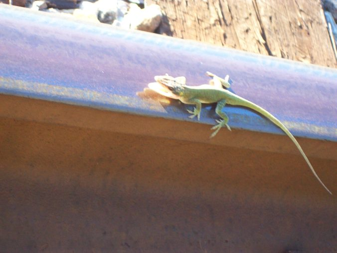 anole 3