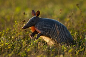 Photo of armadillo taken by someone who actually knows how to operate a camera.