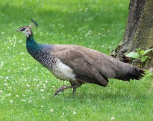 Peahen with normal coloring.