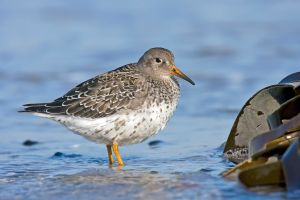 Purple sandpiper: Tougher than it looks.